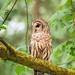 Barred Owl | August 2017