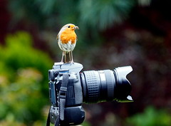 Smile Please (Jim Roberts Gallery) Tags: robins red gallery color beautiful light gorgeous photograph geotagged tags tagged photo photographs lovely pretty interesting interestingness beauty nature amazing wildlife photography countryside creative excellence explore jrsgallery jimroberts