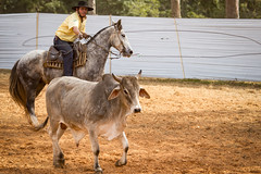 Laço aberto (Ars Clicandi) Tags: paraná brasil br brazil parana jaboti prova do laço comprido peao peão boiadero boiadeiro cowboy