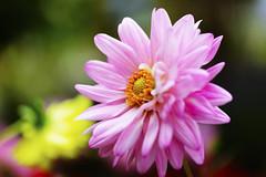 """在清迈_ (36) (katushang) Tags: thailand thai chiangmai d800e 105mmf28 105mmaf28gedvr 105mm 105mmf28gedvr 105mmaf28g macro flower plant color colorful """"bhubing palace"""" garden pink 2017 泰国,2017,summer"""