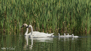 Trumpeter Swans_T3W0219