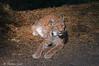 Lince _004 (Rolando CRINITI) Tags: lince felini spormaggiore parcofaunisticodispormaggiore cattività