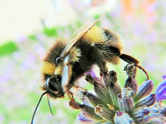 It's in here somewhere? (seanwalsh4) Tags: honeybee lavender nectar nature fauna buzz macro closeup happy nice healthy searching finding pollen flowers 7dwf wednesdaysmacroorcloseup beautifulbees honey hive nest pollenator