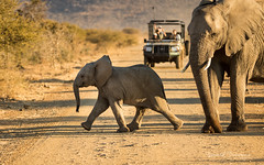 Hurry up little boy! (Raph/D) Tags: south africa afrique du sud voyage travel canon eos 7d mark ii canoneos7dmarkii l series lseries catchy colors swaziland safari elephants madikwe game reserve hurry up road cross mum baby mother