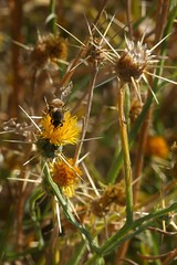 Insect on *Centaurea solstitialis, YELLOW STAR-THISTLE. (openspacer) Tags: asteraceae centaurea insect jasperridgebiologicalpreserve jrbp nonnative noxiousweed starthistle
