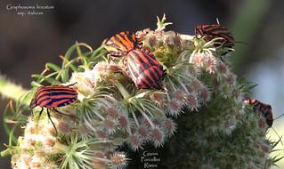 Graphosoma lineatum ssp. italicum - 01.08.2017 - Gianni Porcellini - 057
