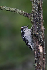 4005 (Eric Wengert Photography) Tags: downywoodpecker picoides picoidespubescens bird woodpecker