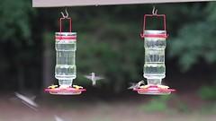 Swarming Hummingbirds (Bill Varney) Tags: hummingbird video wildlife outdoor swarm feeding feeders canon billvarney