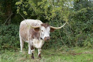 Grazing English Longhorn