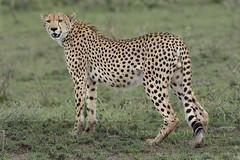 Guepardo - Cheetah - Serengeti NP - Tanzania (Gaston Maqueda) Tags: guepardo chita cheetah cats africa serengeti safari tanzania mamiferos wild wildlife salvaje nature naturaleza