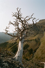 tree (amackcrane) Tags: portra 400 glacier nikkormat ft2 135 28mmf28