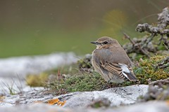 Wheatear (http://deniseagling.photography) Tags: