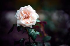 rosey (Marc R. A.) Tags: rose blume closeup garden garten flower batis85 zeiss sony a7r2 purple