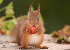 red squirrel eating a strawberry (Geert Weggen) Tags: animalbodypart animalhead berry cute eating feeding food fruit horizontal oneanimal photography rodent small squirrel squirrelfamily strawberry tail vegetable redsquirrel dinner health earth day summer harvest autumn fall young puppy sweden geert weggen hardeko bispgården ragunda swedish jämtland