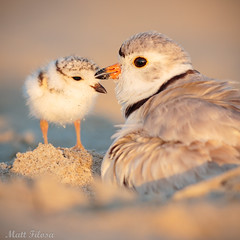 Piping Plover & Chick (Matt F.) Tags: shorebird pipingplover young