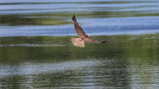 Lanner Falcon flight ~ Explored