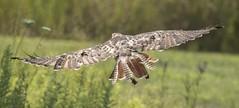 RED-TAILED HAWK - SUBADULT (nsxbirder) Tags: redtailedhawk buteojamaicensis ross ohio fernaldnaturepreserve hamiltoncounty subadult