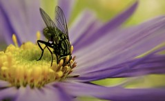 Gatecrasher! (hall1705) Tags: gatecrasher insect flower nature macro closeup plant pollen petal depthoffield detail nikon1j5 outdoor