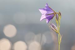 Die Glockenblume läutet den Morgen ein