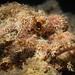 Tassled Scorpionfish (Scorpaenopsis oxycephala)