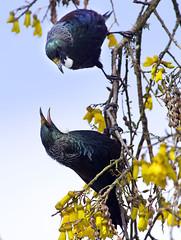 IMGP1457 Tui in combat mode on Kowhai Porirua 27-08-17 (Donald Laing) Tags: new zealand porirua tui native birds kowhai trees nectar feeders donald laing