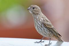 House Finch (Life of David) Tags: california camarillo canon5dmarkiv usa wildlife backyard beautiful beauty bird housefinch nature summer vogel oiseau uccello pájaro pássaro