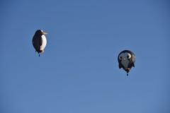 Little penguin goes to get Dad to scare lion away (Nige H (Thanks for 10m views)) Tags: balloon hotairballoon longleat longleatskysafari wiltshire penguin penguinballoon