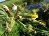Sumpf-Gänsedistel - Sonchus palustris, NGIDn296387213 (naturgucker.de) Tags: ngidn296387213 naturguckerde sumpfgänsedistel sonchuspalustris 915119198 92636685 987993888 chorstschlüter