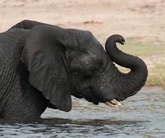 World Elephant Day August 12th! (Jambo53 (Robert Kok)) Tags: rood chobe africanelephant olifant afrikanischeelefanten loxodontaafricana northernbotswana robertkok southernafrica nature natuur wildlife mammals zoogdieren water river rivier bathing brokentusk tusks slagtanden