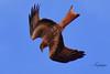 nibbio reale (Tonpiga) Tags: tonpiga uccelliinlibertà faunaselvatica predatore rapace milvusmilvus nibbioreale livrea