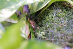 IMG_2940 (artistshell) Tags: 樹蛙 生態缸 莫氏樹蛙