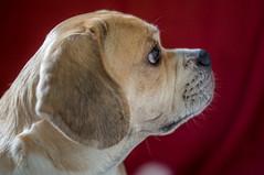 Simba's Profile (BLiTzBaLLeRx) Tags: sony xfujinon 119 f50mm nex6 puggle dog beagle pug profile