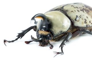 Male Hurcules Beetle