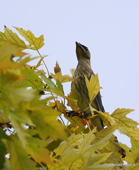 Juvenile Cedar Waxwing_N9846 (Henryr10) Tags: ottoarmlederpark hamiltoncountyparkdistrict cincinnati ottoarmledermemorialpark armlederpark littlemiamiriver greatparksofhamiltoncounty cedw bombycillacedrorum cedarwaxwing waxwing bombycilla bird avian vogel ibon oiseau pasare fågel uccello tékklistar songbird