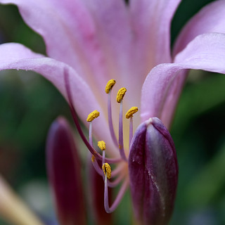 August Lily