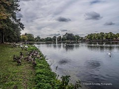 Roath Park Birds 2107 09 18 #25 (Gareth Lovering Photography 4,000,423) Tags: roath park cardiff wales birds swans ducks heron grebe lake water olympus omdem10ii garethloveringphotography
