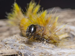 _IMG9962  The Sycamore (Acronicta aceris) (Pete.L .Hawkins Photography) Tags: the sycamore moth caterpillar acronicta aceris weaving silk cocoon petehawkins petelhawkinsphotography petelhawkins petehawkinsphotography pentax 100mm macro pentaxpictures pentaxk1 fantasticnature fabulousnature incrediblenature naturephoto wildlifephoto wildlifephotographer naturesfinest unusualcreature naturewatcher insect invertebrate bug 6legs compound eyes creepy crawly uglybug bugeyes fly wings eye veins flyingbug flying bright orange furry with white diamonds