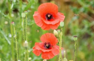 Visiting the Poppies.