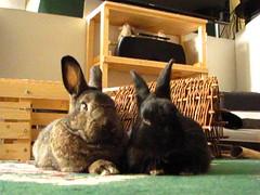 Sherman & Zuzu (Anomieus) Tags: rabbit rabbits bunny bunnies leporidae lapin kaninchen coniglio 집토끼 conejo кролик 兔子的毛皮 coelho cottontail furry animal cute houserabbit cony coney leporid pet paws ears tail питомен กระต่าย kunić konijn κουνέλι nyúl ウサギ królik iepure заяц kanin