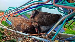siblings.... (Jinky Dabon) Tags: fujifilmfinepixhs35exr youngchicks chicks babybirds birds pigeons feathers talons eggs birdkingdom httpwwwtescomteachingresourcebirdsthemedpack11478170 wwwtescom