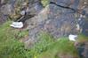DSC_6919 (artsynancy) Tags: shetlandislandsuklerwick shetlandislands uk lerwick birds nesting nest