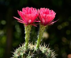 Echinopsis mamillosa var. kermesina (ecos de pedra) Tags: echinopsis