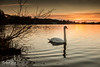 Outward Calm (richpwrr) Tags: glow aquadrome calm swan water lake alonepeaceful reflection sunset