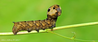 An Elephant Hawk-moth larva - Deilephila elpenor (Sphingidae)