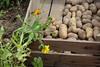 CKuchem-5988 (christine_kuchem) Tags: bauerngarten beet biogarten erde ernte erntekiste erntezeit feld frühkartoffel garten gartenerde gemüse gemüsebeet gemüsegarten glorietta grabgabel herbst holz holzkiste kartoffel kartoffelbeet kartoffelfeld kartoffelkiste kiste naturgarten nutzgarten pflanze privatgarten rarität sorte sortenvielfalt vielfalt alt bio biologisch frisch früh gesund naturnah natürlich reif