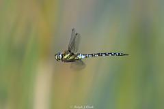 Migrant Hawker (Male) (Ralph J Clark) Tags: migranthawker male flight summer dragonfly boldermere surrey