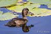 Tufted Duck / Kuifeend (female) (rob.bremer) Tags: aythyafuligula tuftedduck kuifeend duck duinen dunes duinlandschap duingebied duinmeer karpervijver kennemerduinen meertjevanvogelenzang meer lake noordhollandsduinreservaat noordholland nederland netherlands
