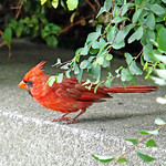 DSC09036  - Garden Cardinal thumbnail