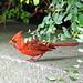DSC09036  - Garden Cardinal
