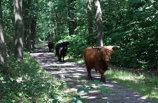 Highland cows in the Witte Veen